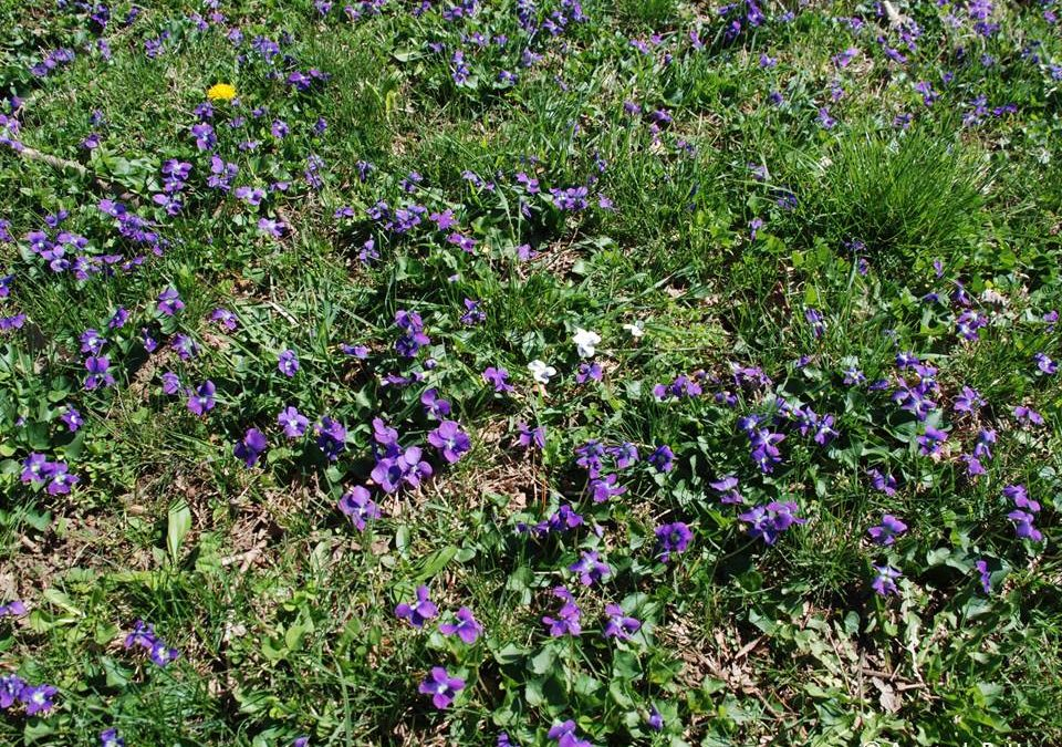 How to get rid of Wild Violets