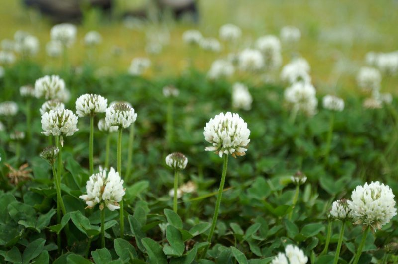 How to get rid of White Clover in Lawns